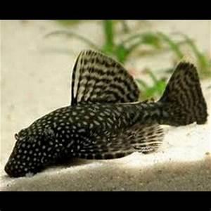 Poisson Aquarium Eau Chaude : poissons eau chaude loricarides ~ Mglfilm.com Idées de Décoration
