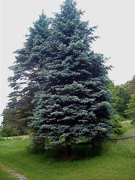 blue spruce blue spruce monongahellyeah