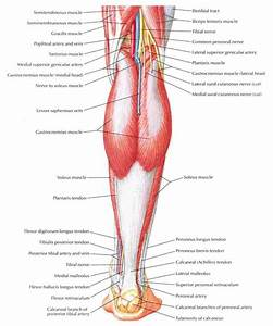 Leg Muscle Diagram Labeled