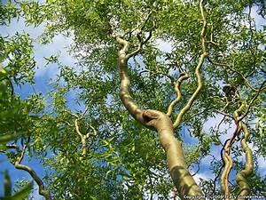 Corkscrew Willow Branch