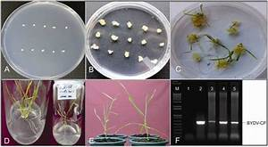 Genetic Transformation Of Wheat Immature Embryos  A  Immature Embryos