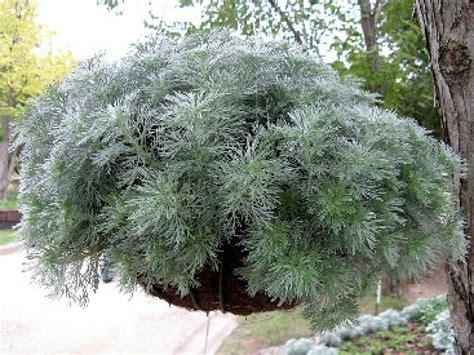 jeux de cuisine de 2012 l 39 armoise une plante décorative et médicinale