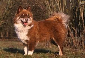 Finnish Lapphund Dog Breed Information, Buying Advice ...