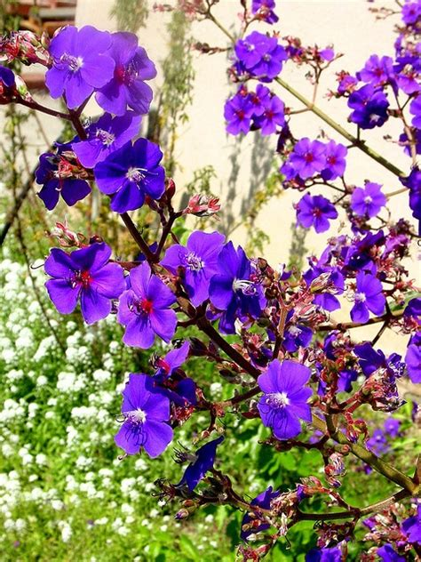 trees with purple flowers in the 25 best ideas about purple flowering tree on pinterest purple plants purple bed covers and