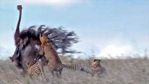 BBC - Earth News - How ostriches run faster than us