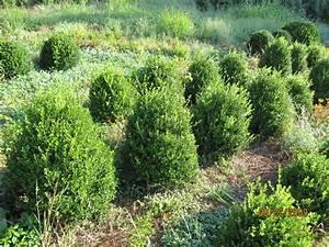 Buxus microphylla 'Winter Green' - The Site Gardener