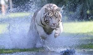 White Bengal Tiger Running | www.pixshark.com - Images ...