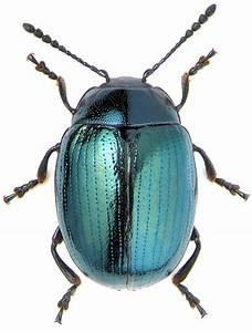 25+ Best Ideas about Beetles on Pinterest | Beetle, Beetle ...