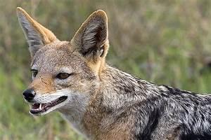 images jackel | All About Animal Wildlife: Jackal ...