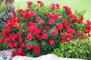 Red Rose Bushes