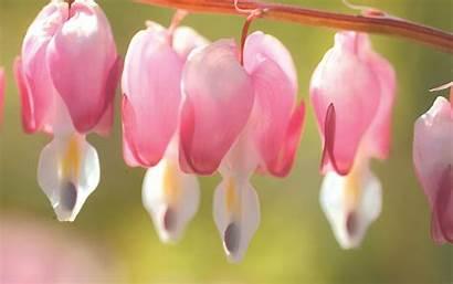 Flower Bleeding Heart Flowers Korea South Plants