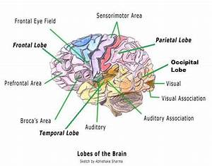 Labeled Diagrams Of The Human Brain You U0026 39 Ll Want To Copy