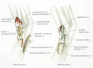 Image  Anatomy For Tarsus Nerve Block  Horse