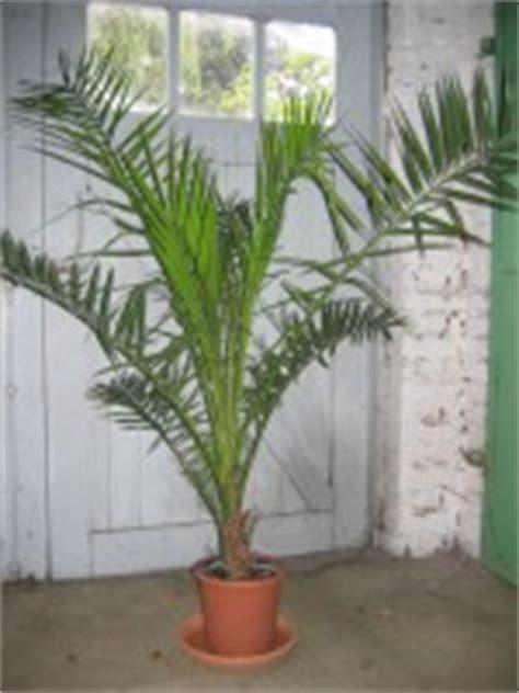 canariensis en pot rebellini sept2006 2 palmiers les galeries photo de plantes de gardenbreizh