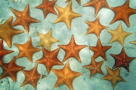 starfish sea seabed marine sandy bahamas caribbean cushion star bahama close background fish scene