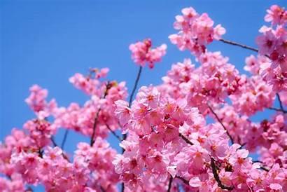 Blossom Cherry Japan Season Trees Tour Kyoto