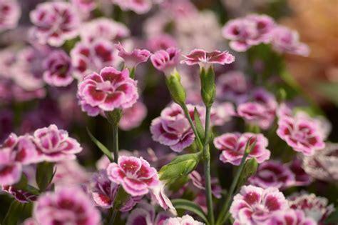 Nelken Für Balkonkästen by Nelken Pink Kisses Dianthus Pink Kisses G 252 Nstig