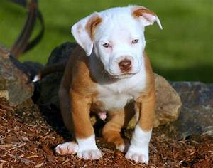 1000+ images about Pitbulls on Pinterest | Blonde brunette ...