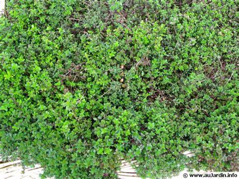 plantes aromatiques cuisine serpolet thym serpolet thymus serpyllum conseils de