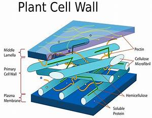 Plant Cell Wall Diagram  Plants  Diagrams  Plant Cell Wall Diagram Png Html