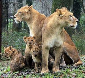 Longleat lioness and cubs put down leaving staff in tears ...