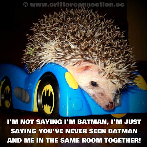 Hedgehog Meme - hedgehog hedgie batman meme millermeade funny lol www critterconnection cc pinterest