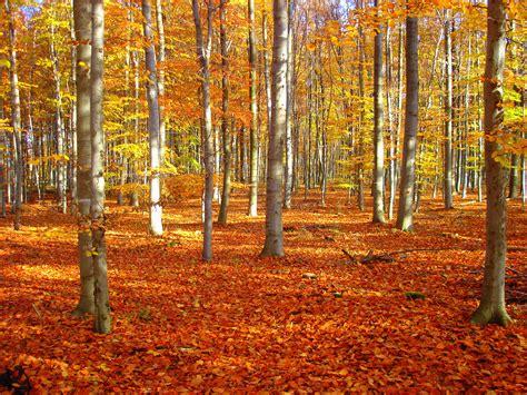 Garten Im Herbst Bearbeiten by Datei Lsg Stetternicher Wald Buchenbestand Im Herbst De Nw