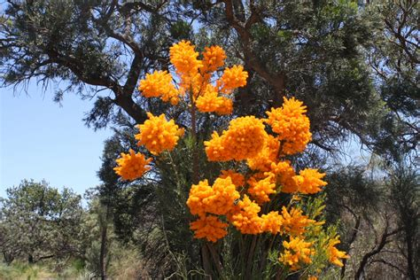 nuytsia floribunda western australian christmas tree