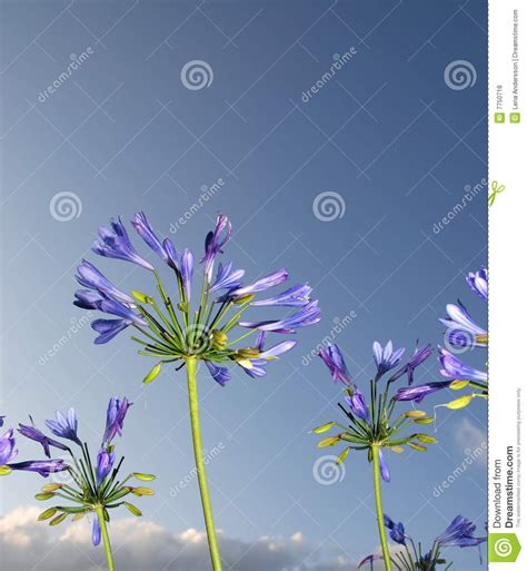 afrikanische lilie überwintern afrikanische blaue lilie stockfoto bild block geformt 7750718