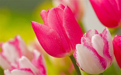 Tulip Image Desktop by Tulip Flowers Wallpaper Pixelstalk Net