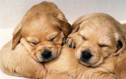 Puppy Puppies Golden Retriever Wallpapers Backgrounds Dogs