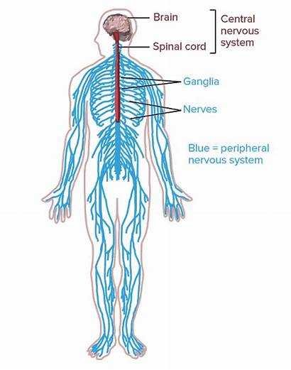 Nervous System Peripheral Nerves Human Spinal Parts