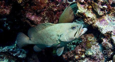 grouper eel moray norton dan photograph razor 16th uploaded september which