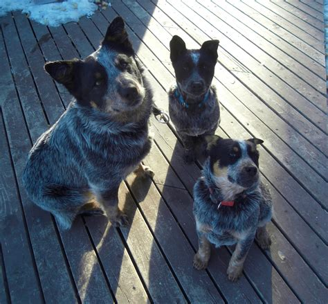blue tick heeler shedding australian shepherd heeler mix picture 187 ideas home design