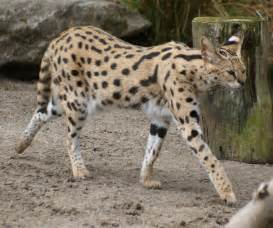 serval cat price file serval at auckland zoo flickr 111 emergency jpg