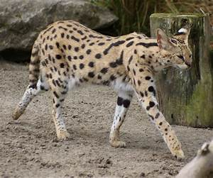 Domestic Cat and Serval - Hybrid Animals