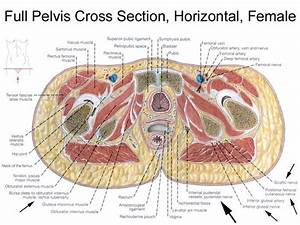 I Think My Issues Are From  Femoral Vein  Obturator Artery
