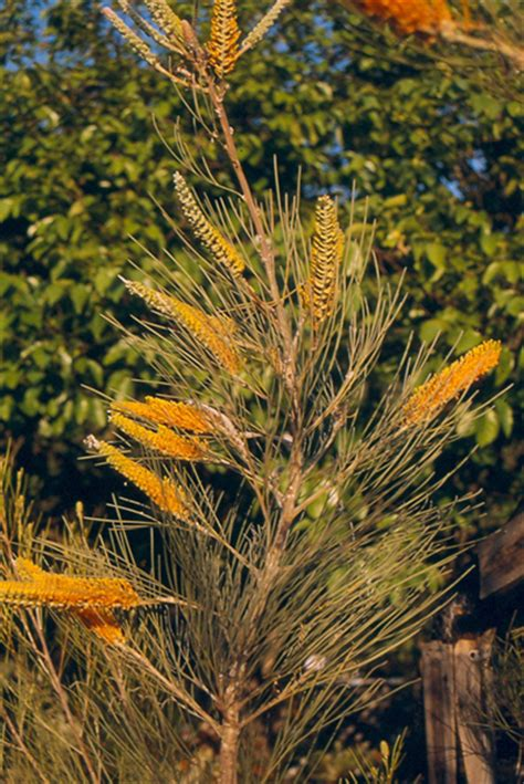 grevillea juncifolia australian native plants plants