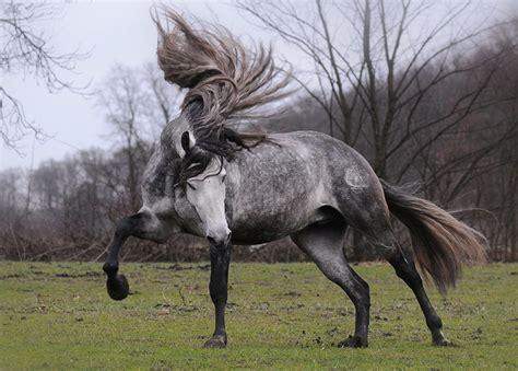 horse andalusian horses grey dapple gray stallion most majestic mare wild mane spanish dappled weneedfun breed beauty hair arabian tail