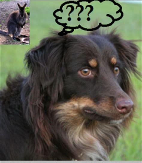 surprising facts  australian shepherds dog