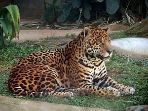Jaguar - Vikipedi  Jaguar