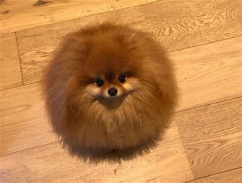 This Melting Pomeranian Is Taking Over Twitter Ogiggles