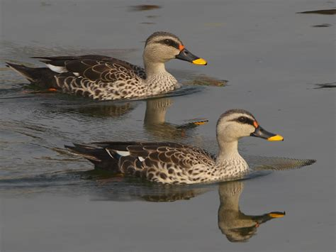 bird spots in southern india duck info and photos the wildlife