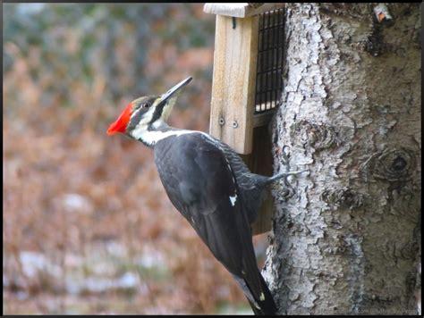 pileated woodpecker feeder pecking order