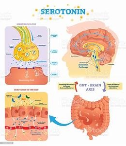 Serototin Vector Illustration Labeled Diagram With Gut