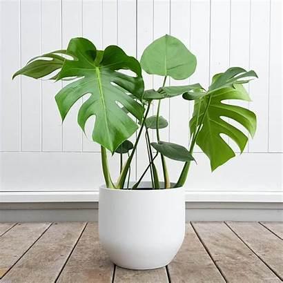 Philodendron Monstera Plants Leaf Nz Split Tropical