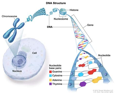Genetic Diagram Gene Dna by Intoduction To Dna Clan Henderson Society
