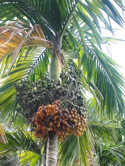 Areca (betel Nut) Palm Tree  Palm Trees Pinterest