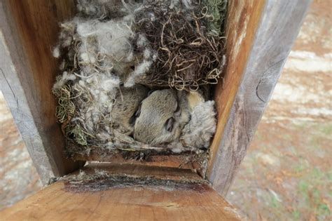 southern flying squirrels nesting   bluebird box   winter flying squirrel squirrel