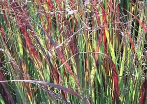 Rotes Gras Winterhart : winterharte mittelhohe ziergras arten ziergr ser f r ~ Michelbontemps.com Haus und Dekorationen